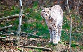 lynximages
